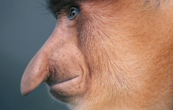 Главная особенность этих обезьян — удивительный нос, который больше не встретишь ни у одного животного.