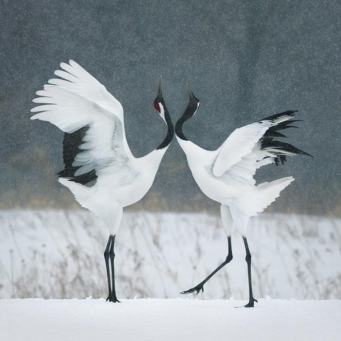 На Востоке эта птица считается символом любви, верности и долголетия.