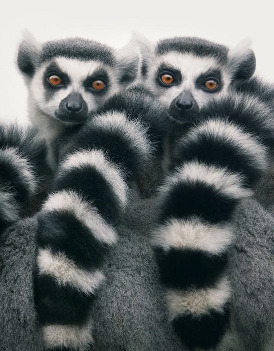 Из всех представителей семейства лемуровые эти зверки больше всего времени проводят на земле.