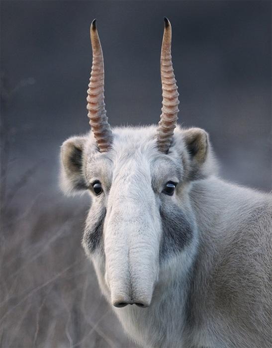 Отличительная особенность сайгаков специфический нос — хоботок.