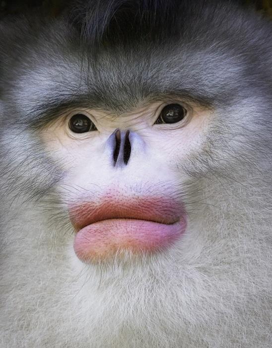 Золотистые обезьяны - вид приматов, обитающий только на территории Китая.