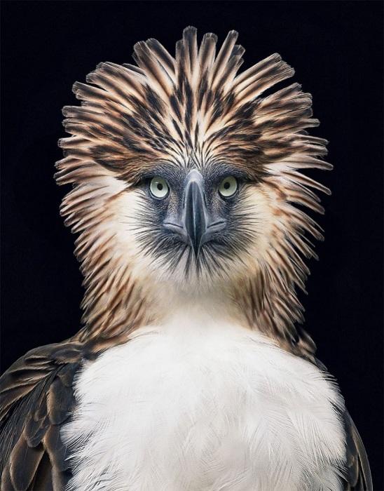 Крупная хищная птица семейства ястребиных, обитает на Филиппинах.