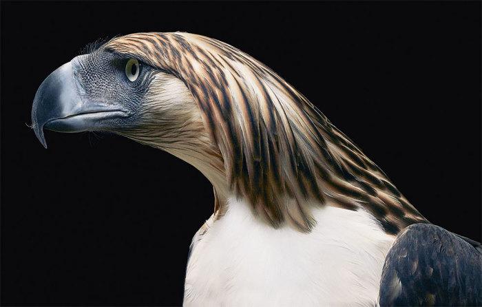 Одна из самых редких, крупных и сильных птиц в мире.