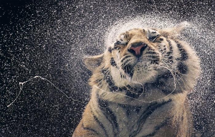 Амурский тигр считается крупнейшим ныне живущим представителем семейства кошачьи.