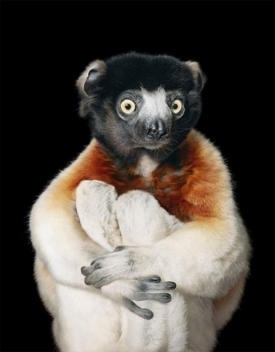 Эти удивительные лемуры обитают только на Мадагаскаре.