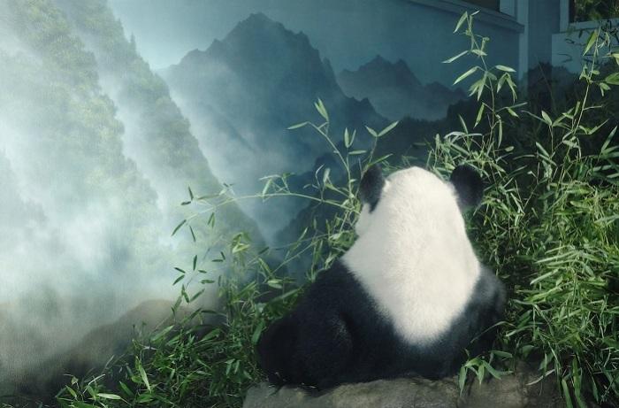 Большая панда семейства медвежьих имеет своеобразный чёрно-белый окрас.