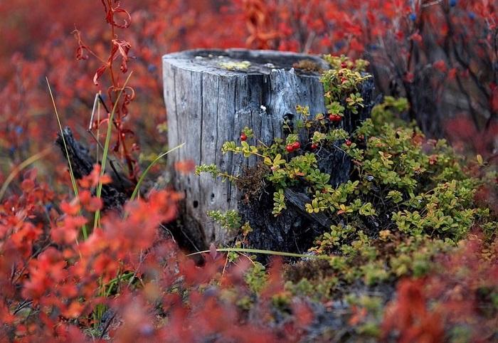 Пора золотой осени, когда ягоды голубики уже начинают опадать, а березка сменила цвет на коричневый и начала осыпаться.