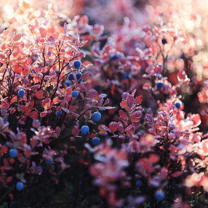 Очень вкусная ягода голубика известна человеку с давних времен как бесценный источник витаминов.