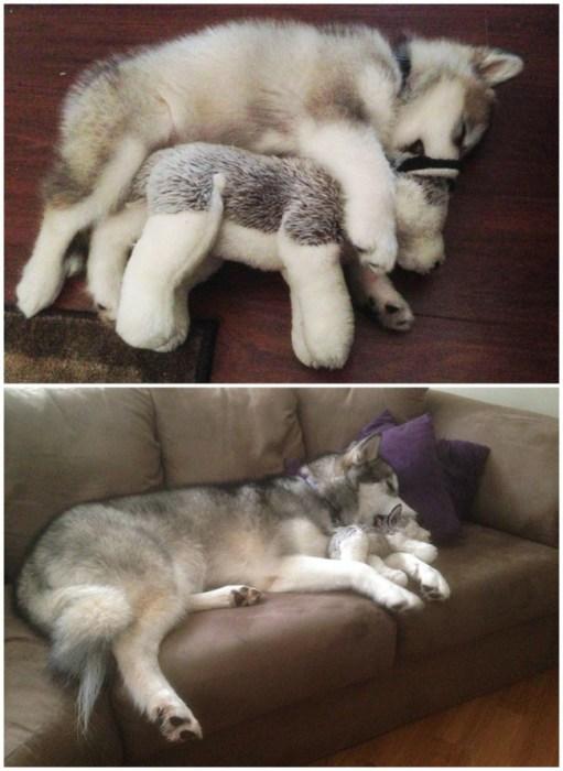 Эта собака на протяжении всей свое жизни играет с одной-единственной любимой игрушкой и бережёт именно её, при этом не жалея все остальные.