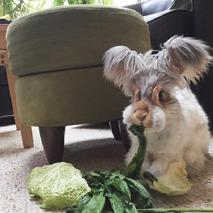 В Массачусетсе проживает очаровательный кролик Валли, наделенный длинными пушистыми ушами. Он и его хозяйка Молли уже стали звездами инстаграма благодаря невероятной прическе кролика.