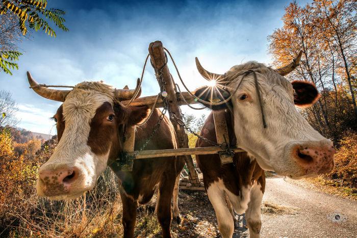 Жители небольших деревень привыкли передвигаться по-старинке – с помощью повозок, запряженных лошадьми или быками.