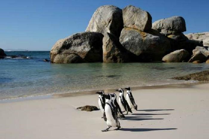 «Пингвиний» пляж никого не может оставить равнодушным и привлекает немало туристов в Кейптаун, где посетители в полной мере могу насладиться наблюдением за этими харизматичными созданиями в их естественной среде обитания.