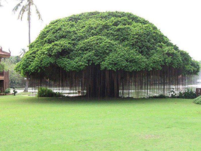 Дерево с самой большой в мире площадью кроны.