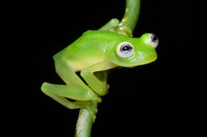 В тропических лесах скрывался неизвестный ранее вид лягушек, которые внешне похожи на героя Маппет-Шоу и Улицы Сезам лягушонка Кермита.