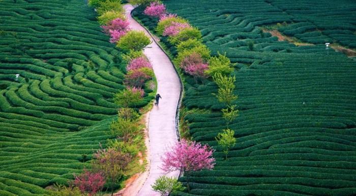 Отцветающие вишни и чайные плантации в провинции Фуцзянь.