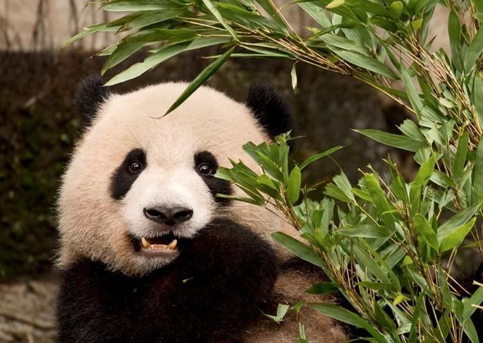 Панда в зоопарке города Чунцин.
