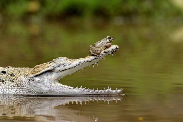 Лягушка избежала острых зубов крокодила, усевшись ему на нос, Индонезия. Фотограф Fahmi Bhs.