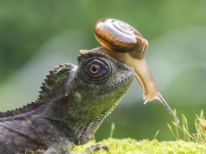 Улитка использует в качестве скоростного транспортного средства голову ящерицы, Джокьякарта, Индонезия. Фотограф Krisdian Wardana.