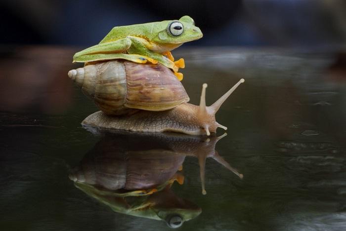Теперь пришла очередь и улитке кого-нибудь подвезти. Возможность не упустила лягушка. Sambas, Индонезия. Фотограф Hendy Mp.