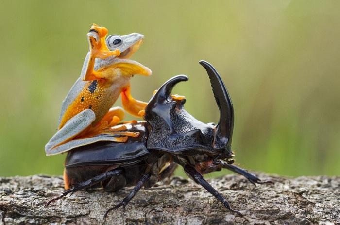Это не ковбой объезжает быка — это лягушка верхом на жуке, Самба, Индонезия. Фотограф Hendy MP.