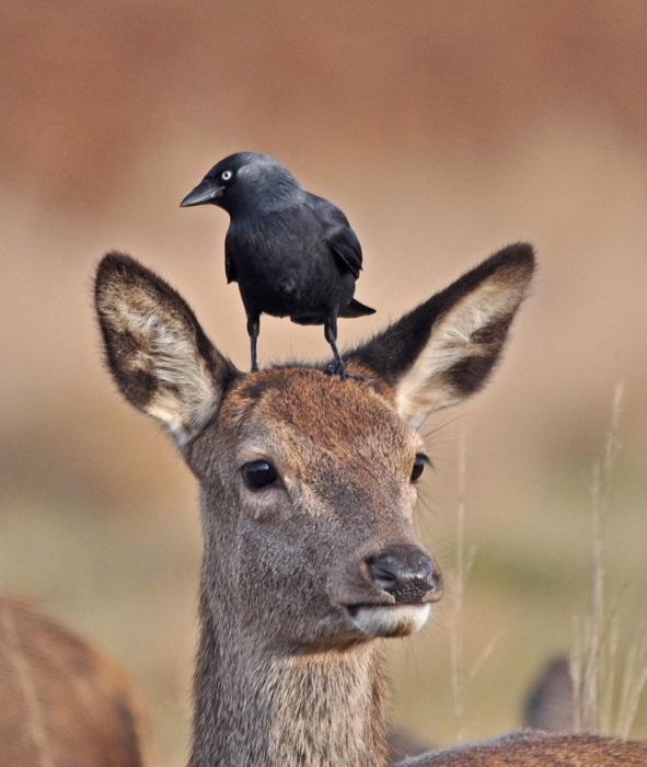 Птица взгромоздилась на ничего не подозревающего оленя, Ричмонд-парк на юго-западе Лондона. Фотограф Harry Tsappas.