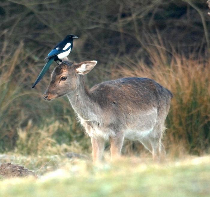 Лань и сорока в графстве Хэмпшир. Фотограф Bournemouth News.