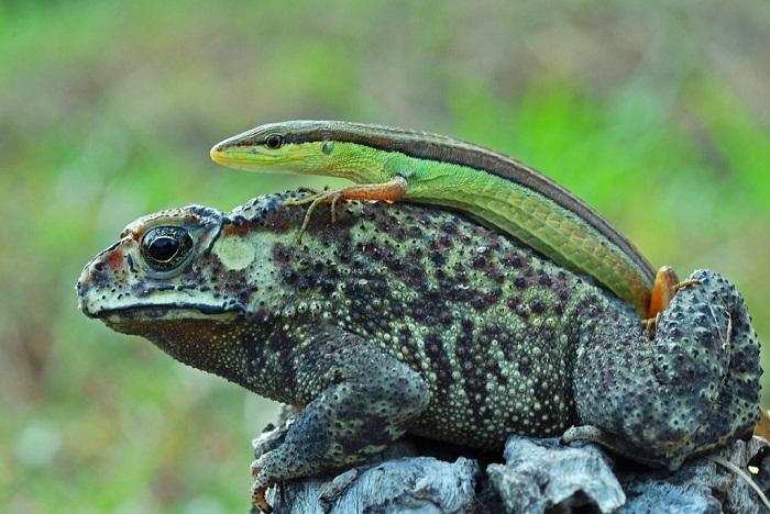 Эта жаба была вынуждена спрыгнуть с бревна, чтобы стряхнуть с себя ленивую ящерицу, Борнео, Индонезия. Фотограф Solent News.