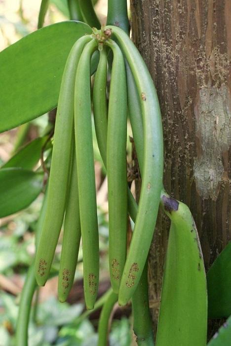 Ваниль делают из плодов  вьющегося растения с большими желто-зелеными, белыми или кремовыми цветами.