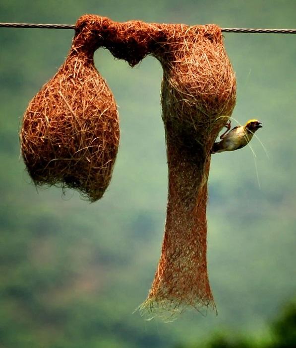 Самец снаружи завершает строительство гнезда.