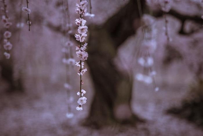 Цветущая слива (сакура) - один из наиболее узнаваемых символов восточной традиции.