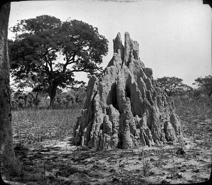 В Африке немало термитников, возраст которых превышает 100 лет.