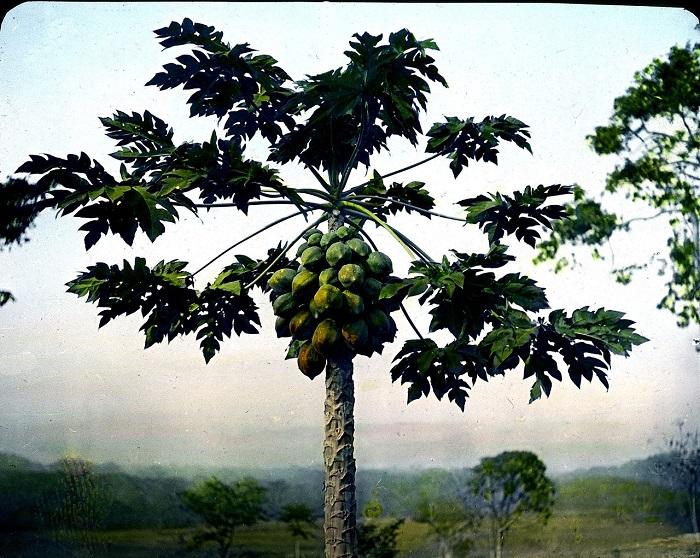 Практически все население ежедневно употребляет плоды этого растения.