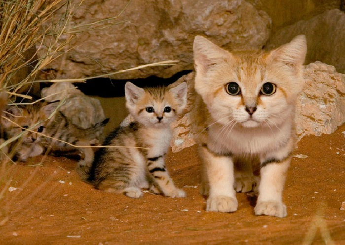 Кошка отличается своеобразным строением головы и тем, что у неё на подушечках лап растёт мех, который защищает от горячих поверхностей.