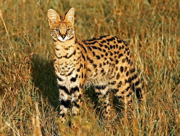 Из всех кошачьих у сервала самые длинные ноги и наиболее крупные уши – если сравнивать с размерами всего тела, а голова совсем небольшая.
