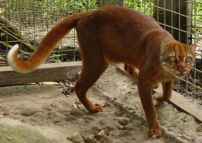 Редкое, малоизученное животное обитает на маленьком острове Борнео, относящемся к Индонезии.