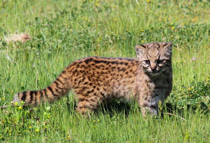 Самая маленькая из всех известных диких кошек.