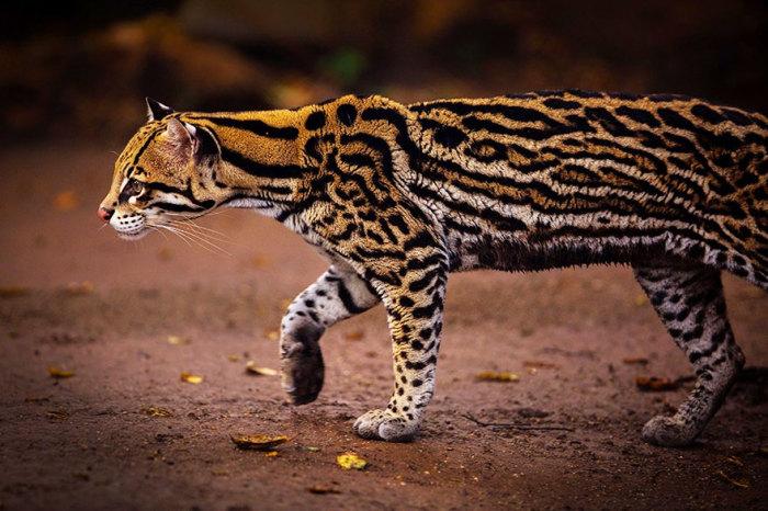Хищное млекопитающее из семейства кошачьих, обитающее в Америке.