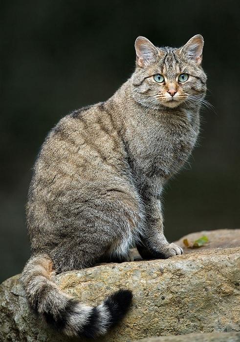 Один из самых широко распространенных хищников семейства кошачьих.