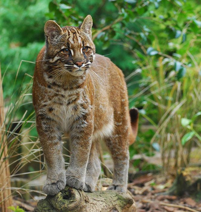 Дикая кошка из рода катопум, обитающая в тропических лесах Юго-Восточной Азии.