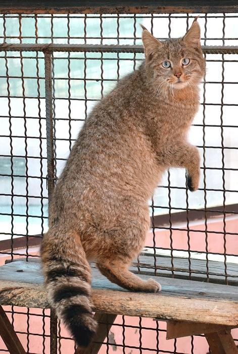 Вид семейства кошачьих, обитающий главным образом в Китае.