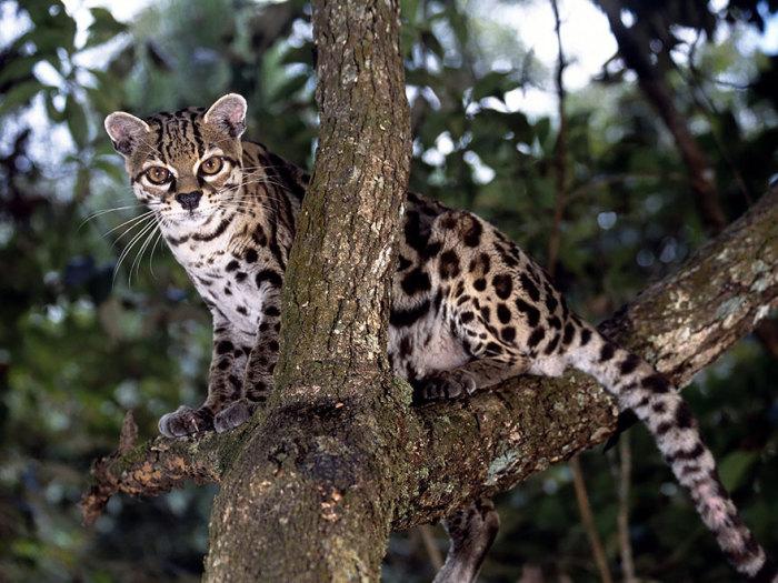 Вид из семейства кошачьих, обитающий во влажных густых вечнозелёных лесах Южной и Центральной Америки вплоть до Мексики.