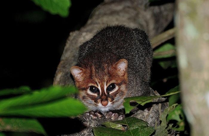Дикая кошка, обитающая в Таиланде, на полуострове Малайзия, в Индонезии, на Суматре и Борнео.