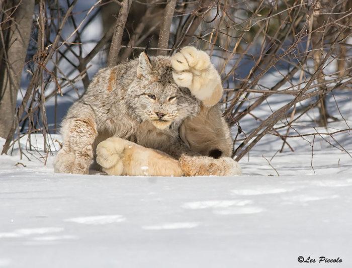 Грациозная северо-американская кошка, ближайшая родственница евразийской рыси, обитающая в североамериканской тайге.