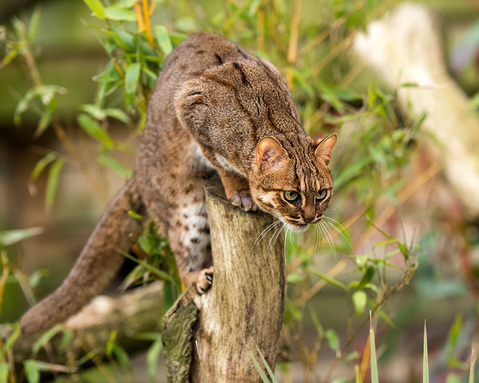 Одна из самых маленьких членов семейства кошачьих и найдена только в Индии и Шри-Ланке.