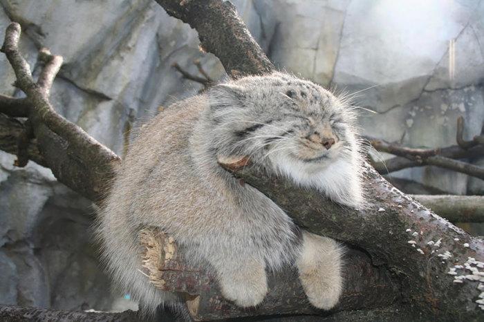 Хищное млекопитающее семейства кошачьих, открыто натуралистом Петером Палласом в 18 веке.