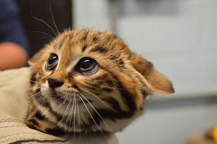 Самая маленькая из всех африканских диких кошек, на подушечках лап которой растёт чёрный мех, защищающий животное от обжигающего песка пустыни.