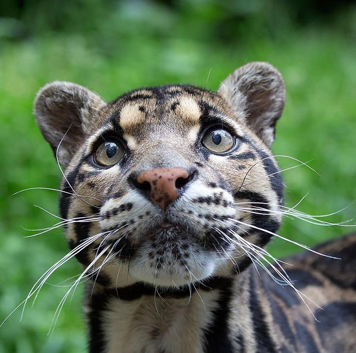 Дымчатый леопард соединяет в себе особенности крупных и мелких кошек. Подобно домашним кошкам, леопард умеет мурлыкать.