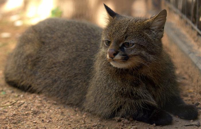 Маленькая кошка из пампасских районов Аргентины и Чили.