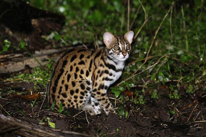 Первая дикая кошка, которая с успехом использовалась для скрещивания диких и домашних кошек, что привело к появлению новой красивой и дружелюбной Бенгальской породы.