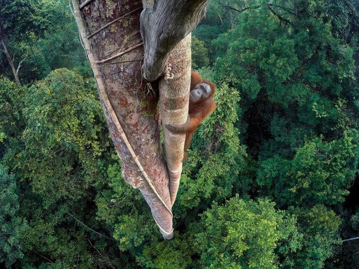 Огромный самец поднимается по тридцатиметровому дереву государственном заповеднике Palung в Индонезии. Фотограф Тим Ламан (Tim Laman).
